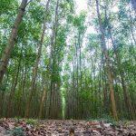 Đất rừng sản xuất là gì? Quy định sử dụng đất rừng sản xuất